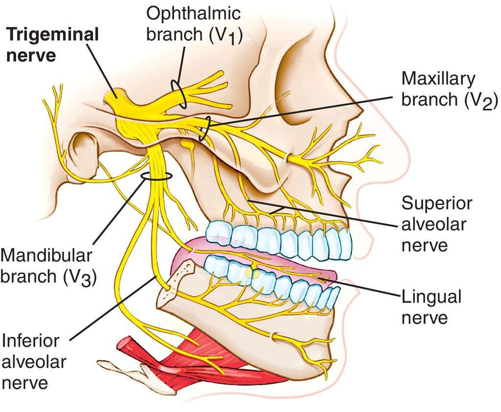 Full Size Picture Trigeminal Nerveg Areas Of Endangerment