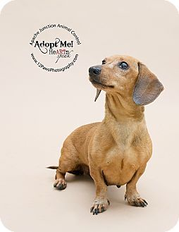 Pictures Of Nina A Dachshund Mix For Adoption In Apache Junction