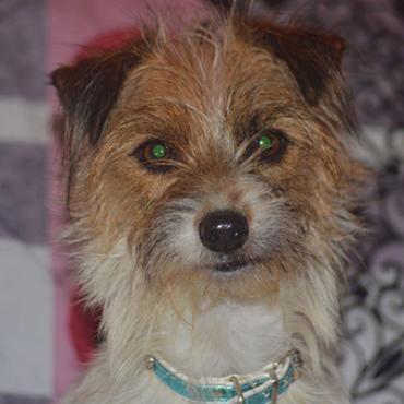 Hund, JackRussel Terrier Mix (Mischling, Hündin, 3 Jahre