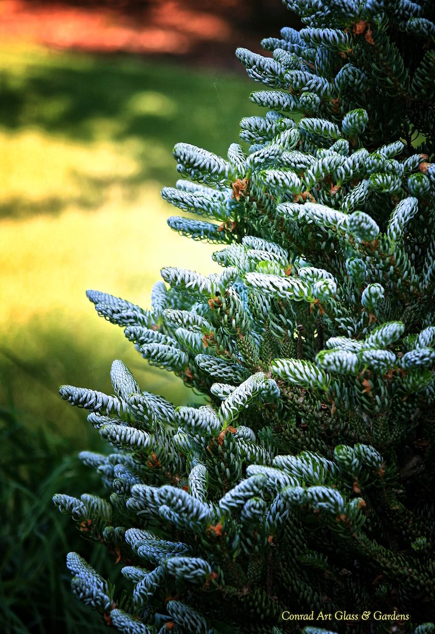 Abies Koreana Horstmann Silberlocke Seasonal Garden Oak Lawn Abies Koreana