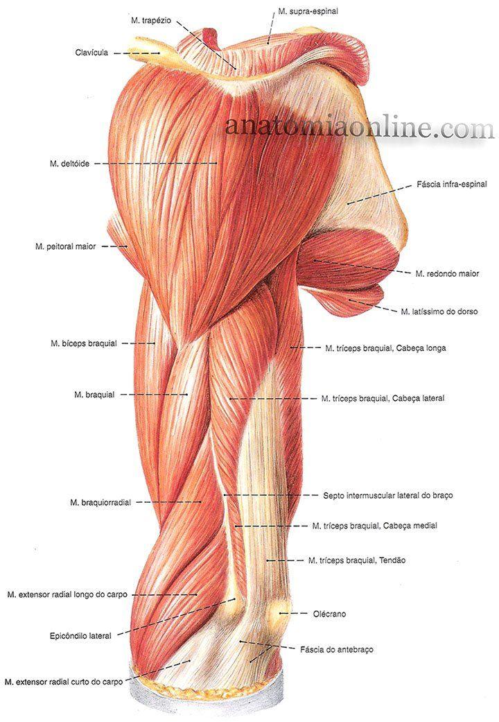 Músculos do Membro Superior - Anatomia Online | anatomia | Pinterest ...