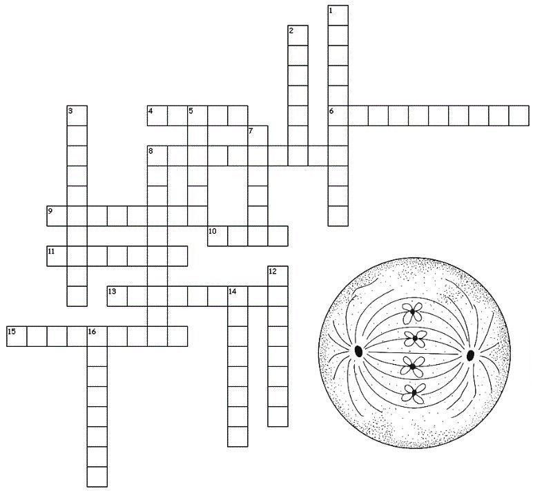 Printable Worksheets cell cycle worksheets : mitosis crossword | Teaching | Pinterest | Teaching biology ...