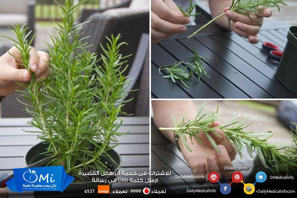أثبتت الأبحاث مؤخرا أن رائحة الروزماري تساعد على تحسين المزاج ورفع الحالة المعنوية ماذا يسمى في بلدك صحة فوائد Plants