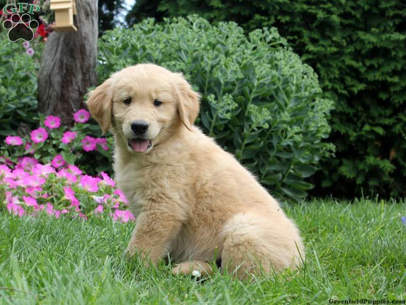 Rover, Golden Retriever puppy for sale from Belleville, PA