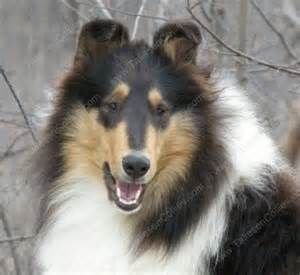 Rough Collie Breeder Of Akc My Love Of Collies Rough Collie