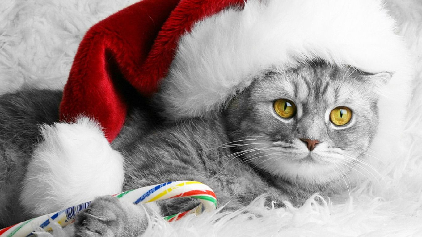 Christmas Kitty Computer Wallpapers Desktop Backgrounds 1366x768 Id 466471 Christmas Cats Christmas Animals Cat Greeting Cards