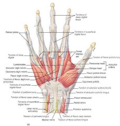 Back of hand anatomy