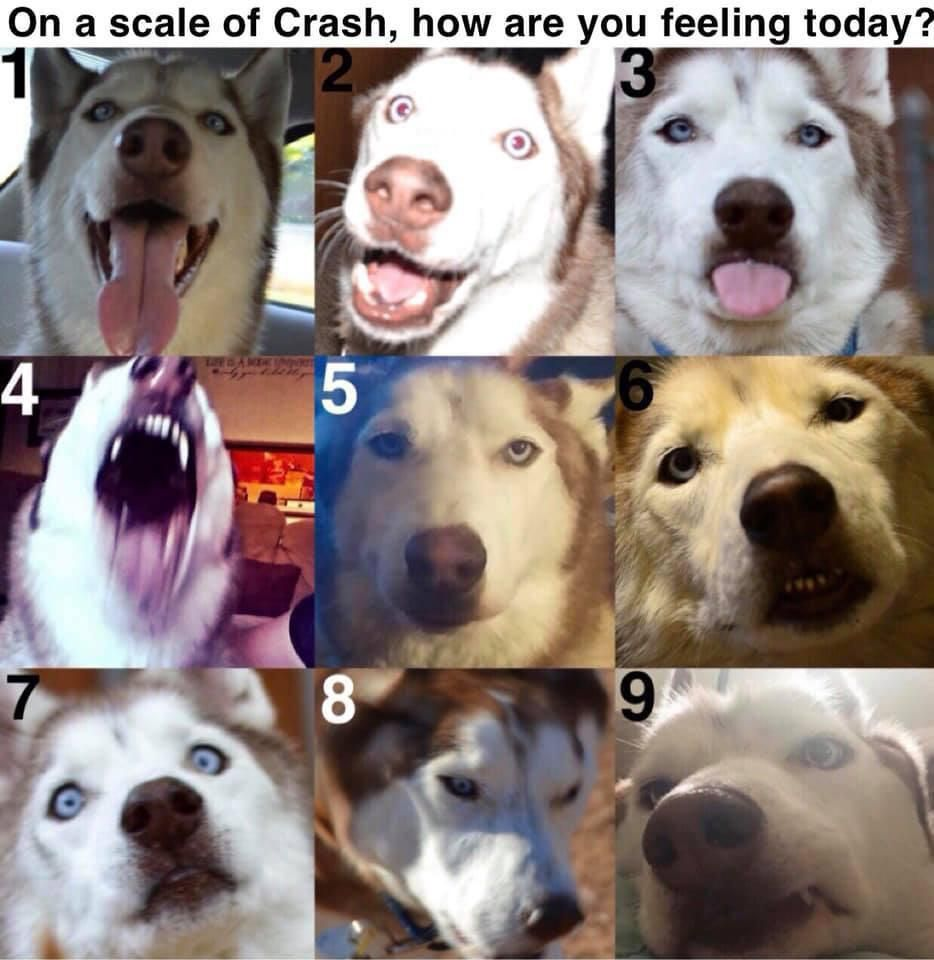 On A Scale Of My Husky Crash How Are You Feeling Today Husky Huskies In 2020 Mixed Breed Dogs Dog Help Husky Mix