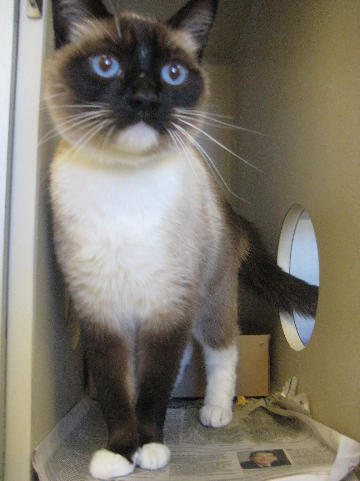 Adopted Snowshoe Cat Cat Adoption Cats Meow