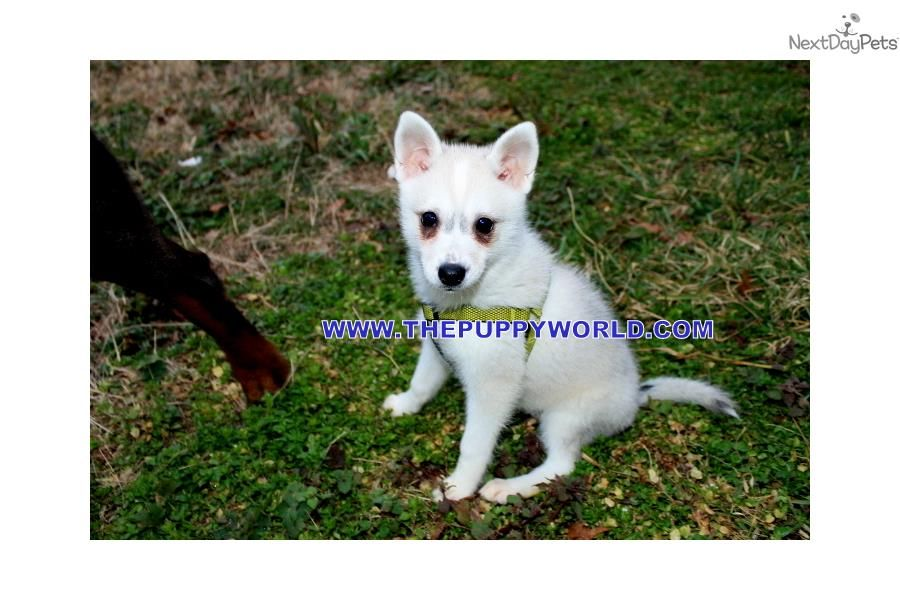 Alaskan Klee Kai Puppy For Sale Near Greenville Upstate South