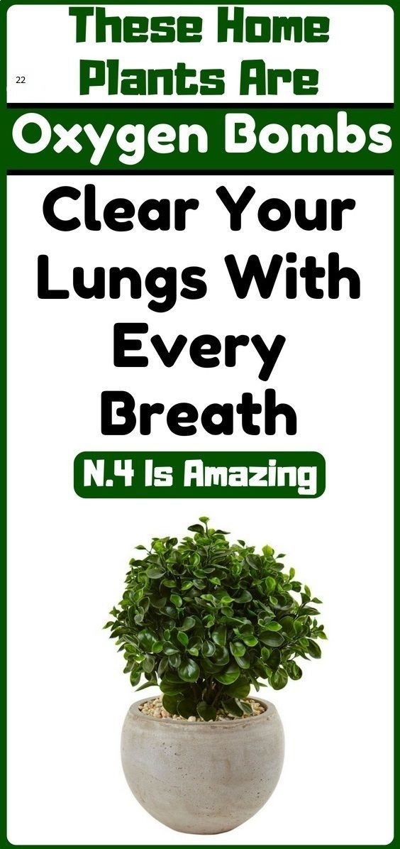 Can A Tree Grow In Your Lungs : lungs, THESE, PLANT, OXYGEN, BOMBS...CLEAR, LUNGS, EVERY, BREATH,, NUMBER, AMAZING, Lungs, Health,, Natural, Decongestant