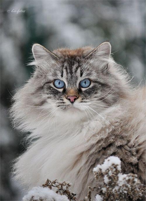 Lynx Point Ragdoll Cat Snow Queen Cat Portraits Ragdoll Cat Pretty Cats Crazy Cats