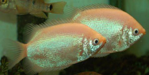 2 Kissing Gouramis Aquarium Fish Kissing Gourami Fish Pet