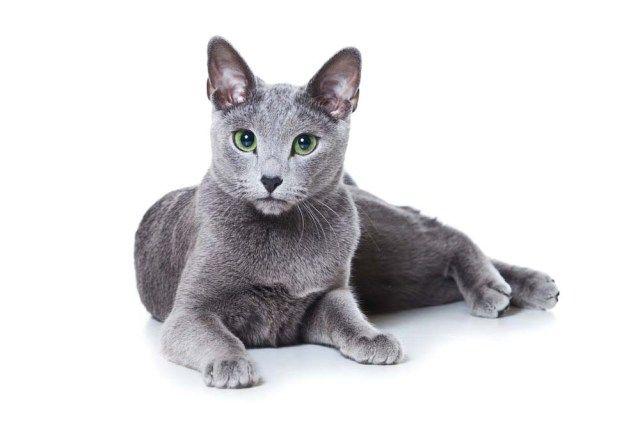 Russian Blue Best Hypoallergenic Cats ロシアンブルー 猫