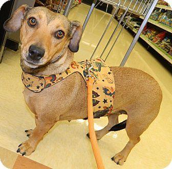 Henderson Nv Dachshund Beagle Mix Meet Shelby A Dog For Adoption Dachshund Adoption Dachshund Pet Adoption