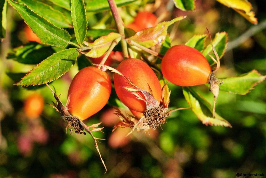 Églantier et cynorodon | Plantes comestible | Pinterest | Plantes ...