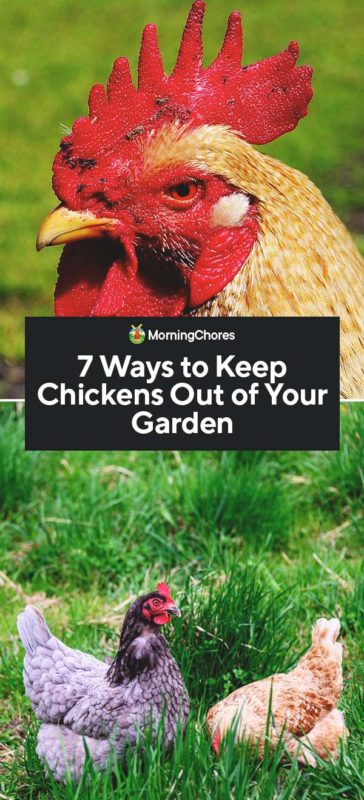 7 Ways to Keep Chickens Out of Your Garden   Chicken ...