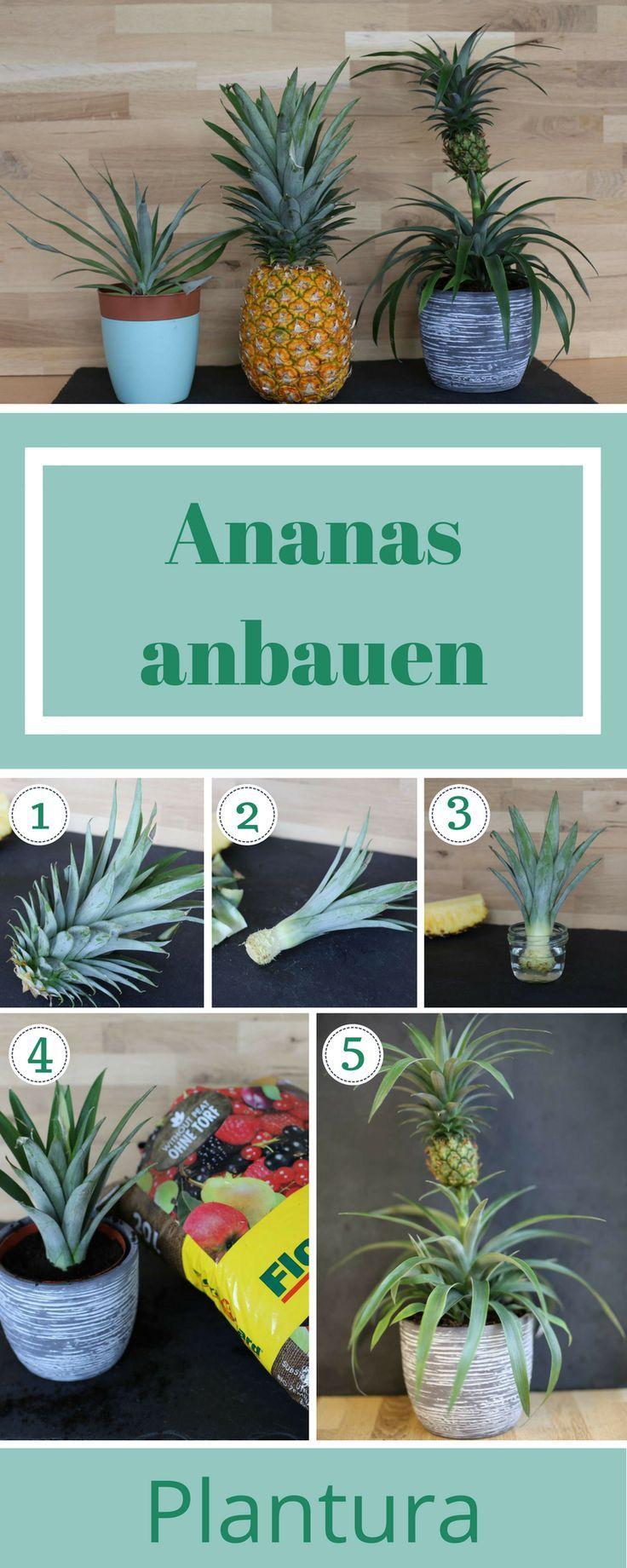 ananas anpflanzen vermehrung anbau anleitung diy garten ideen blumen anpflanzen wohnung. Black Bedroom Furniture Sets. Home Design Ideas