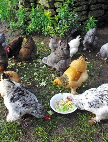 comment bien choisir la nourriture de vos poules poules pinterest. Black Bedroom Furniture Sets. Home Design Ideas