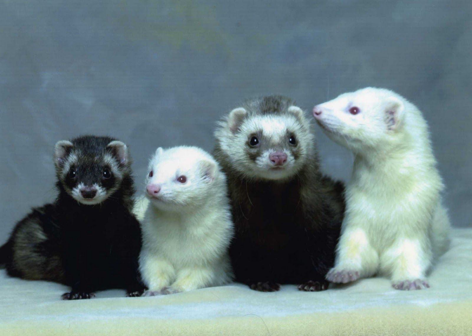 California Weasel And Ferret Ferrets Are Small Carnivorous Mammals And Therefore A Pet Ferrets Pet Ferret Ferret Cute Ferrets