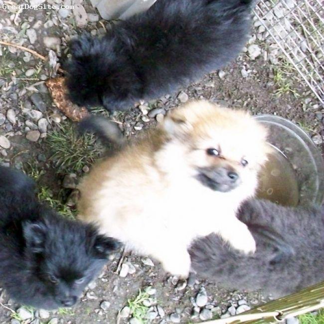 Pomchi Pomchi Puppies Puppies Breeds