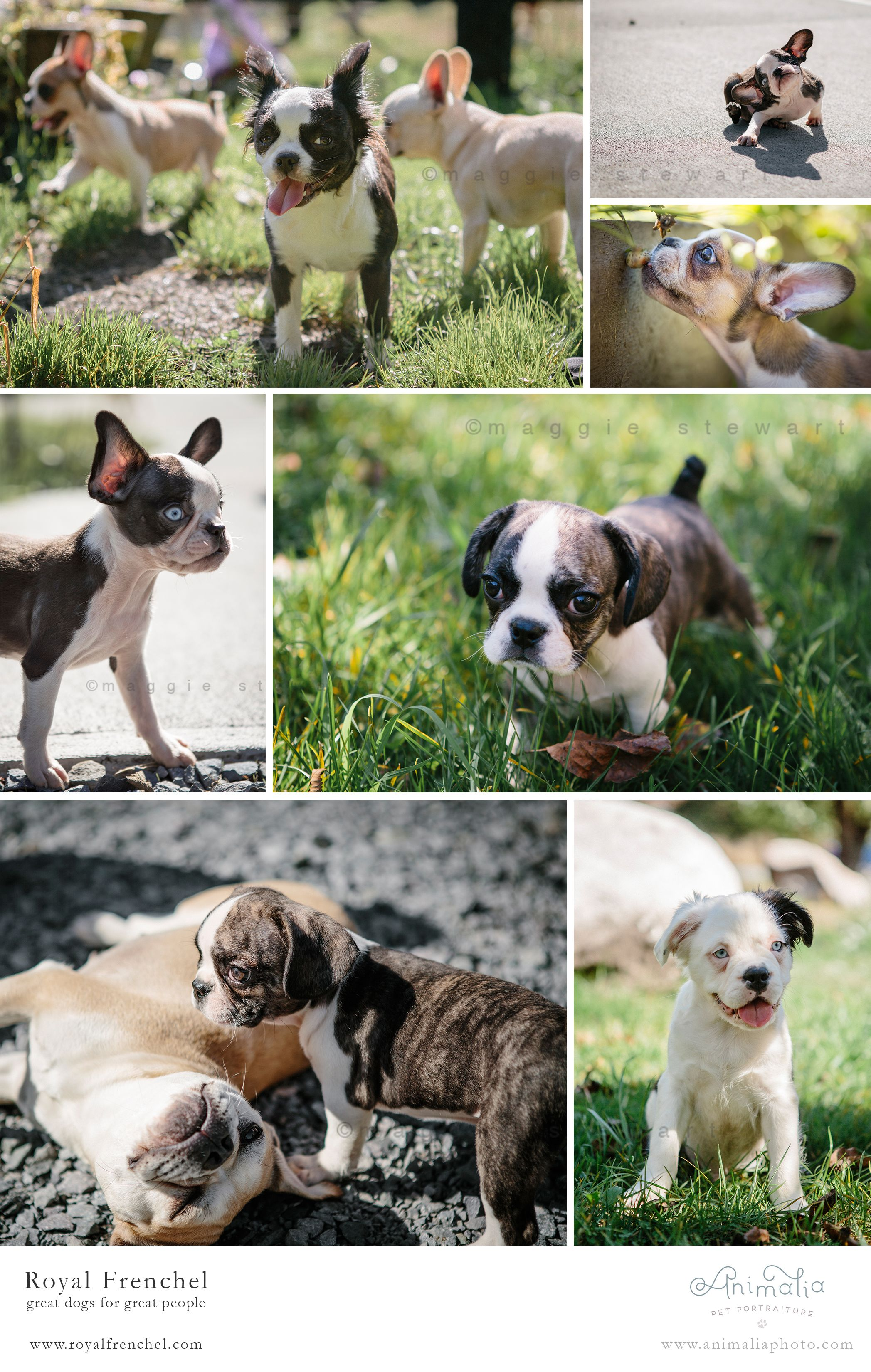 Royal Frenchel Photo Shoot   Royal Frenchel Pups   Dogs, Dog