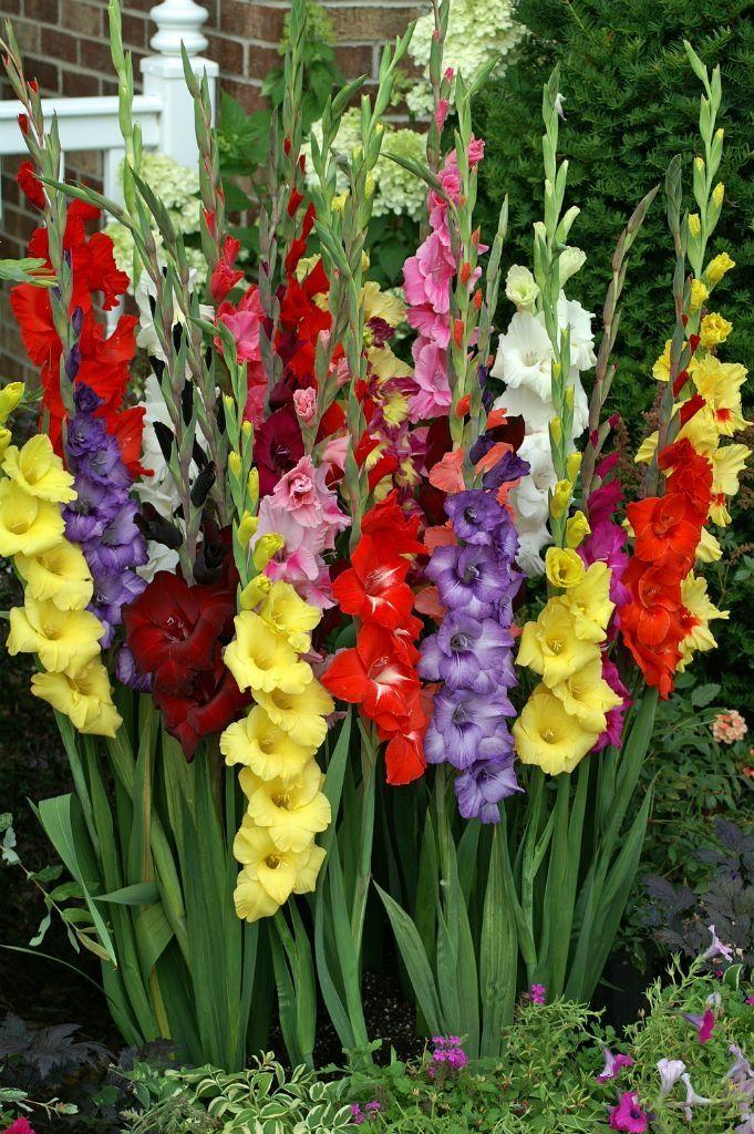 Gladiolus Varieties Photos Powered By Doteasy Com Spring Flowering Bulbs Easy To Grow Bulbs Bulb Flowers