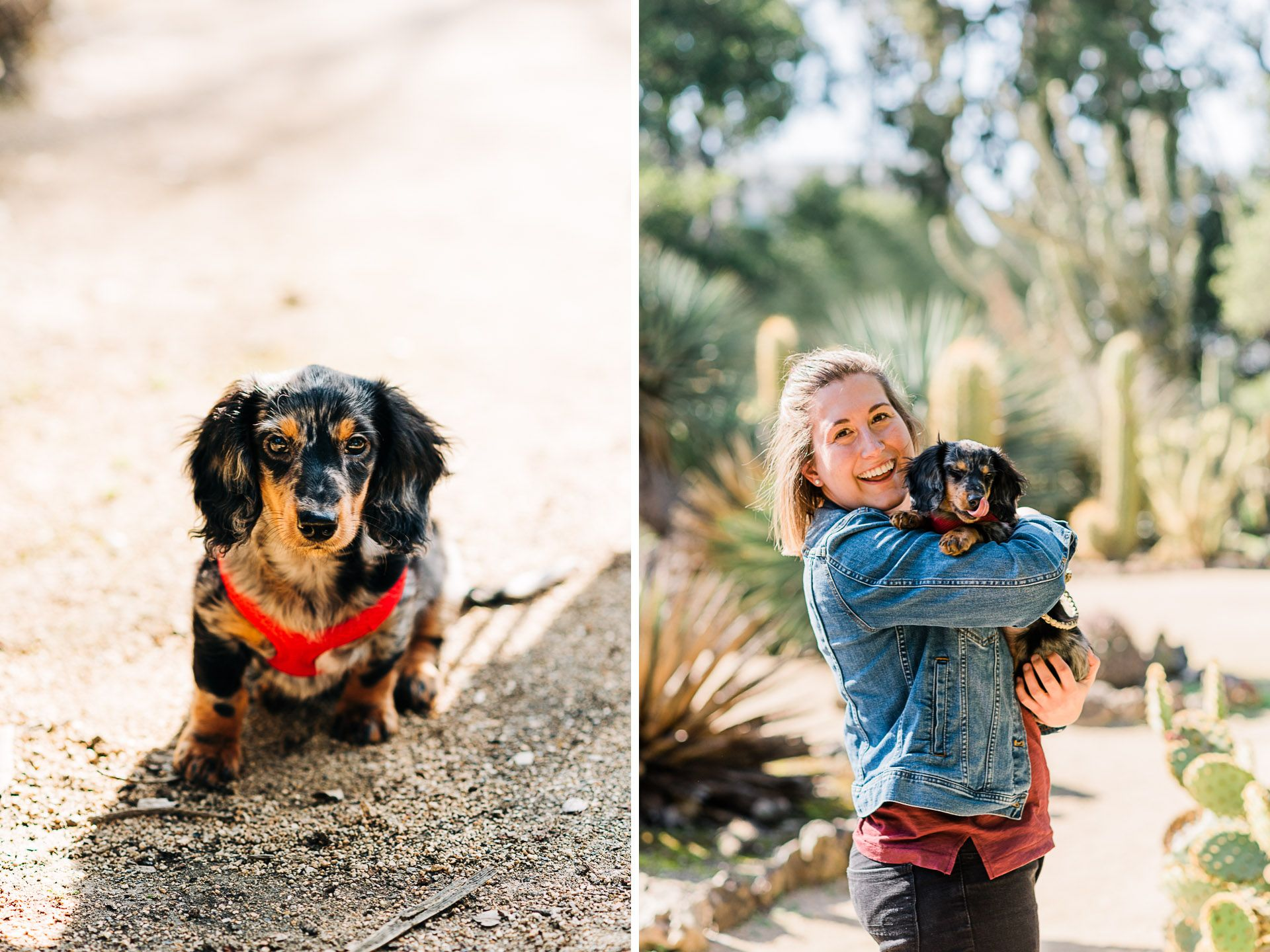 Pet Portrait Of A Tricolor Long Haired Wiener Dog