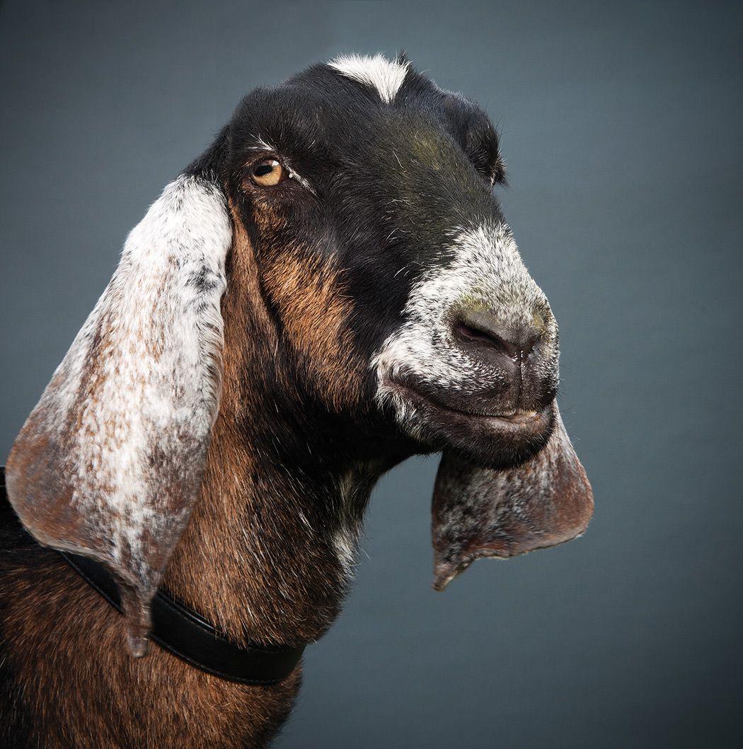 Goats, Nubian Goat, Cute Goats
