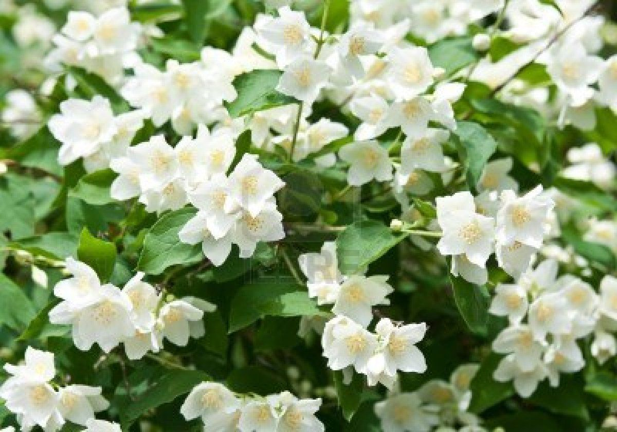 Jasmine Flower Jasmine Flower Wallpaper For Android Flowers
