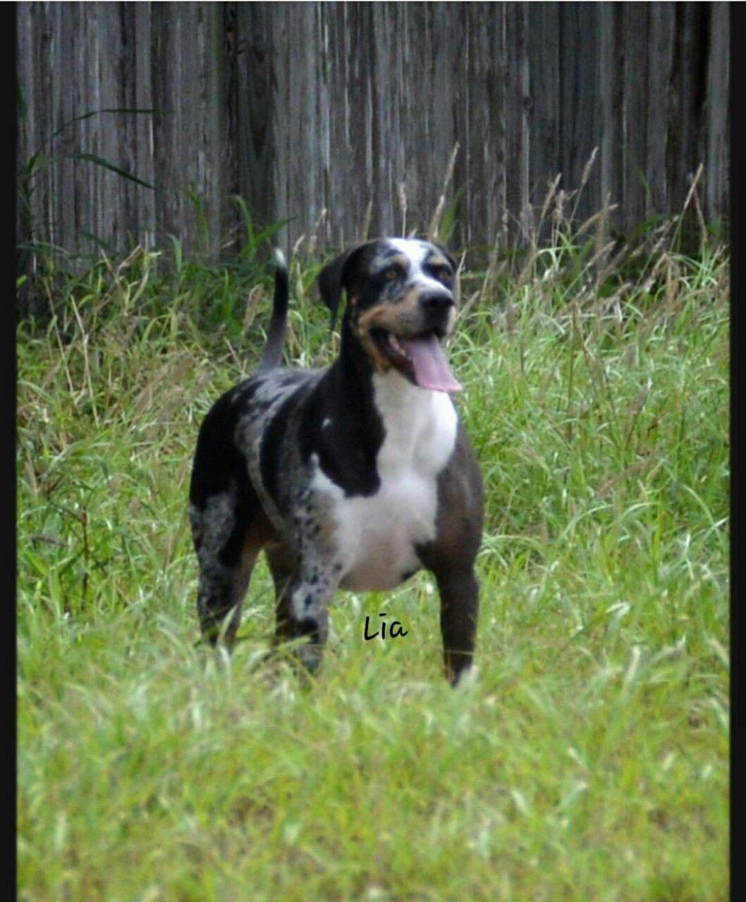 Lia Our Louisiana Catahoula Leopard Dog Rio Grande Valley Of