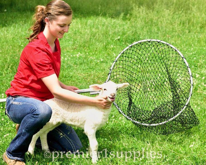 Ez Goat kidding, Goats, Poultry