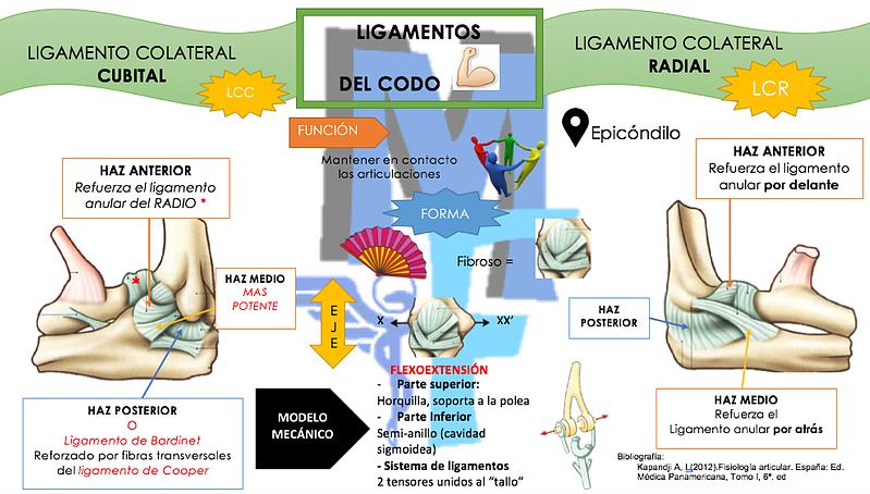 LIGAMENTOS DEL CODO | Miranda Fisioterapia | CODO | Pinterest ...