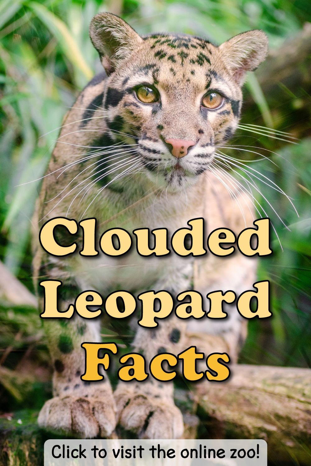 Clouded Leopard Facts For Kids & Adults Pictures