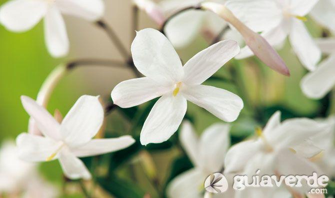 Flores aromáticas para todo el año. Que plantar para tener siempre perfumado el jardín