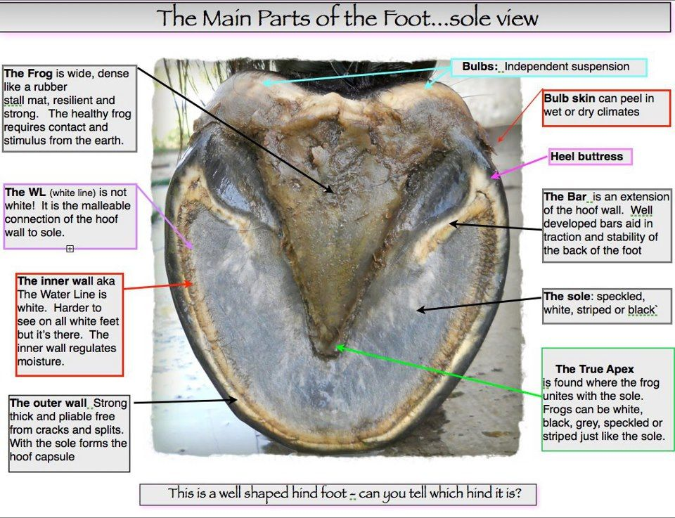Get to know your horse\'s hoof, and what a healthy one should look ...