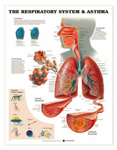 Respiratory System And Asthma Chart By Lake Forest Anatomicals Health Asthma Remedies Natural Asthma Remedies Respiratory