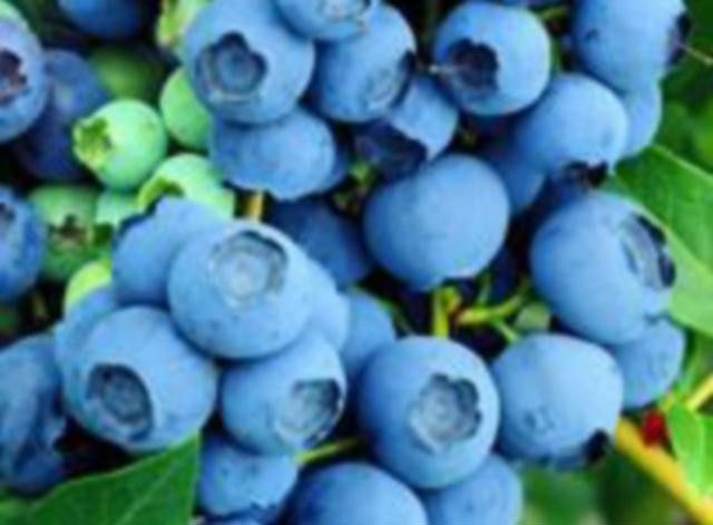 Grow Your Own Blueberry Bushes In Pots And Containers