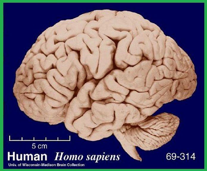 Brain structure image by Sam Stuart on The Brain ...