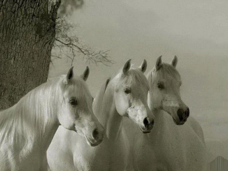 Les Fonds D Ecran La Tete De Trois Chevaux Arabes Blancs Jolis Chevaux Photos De Chevaux Cheval Gris