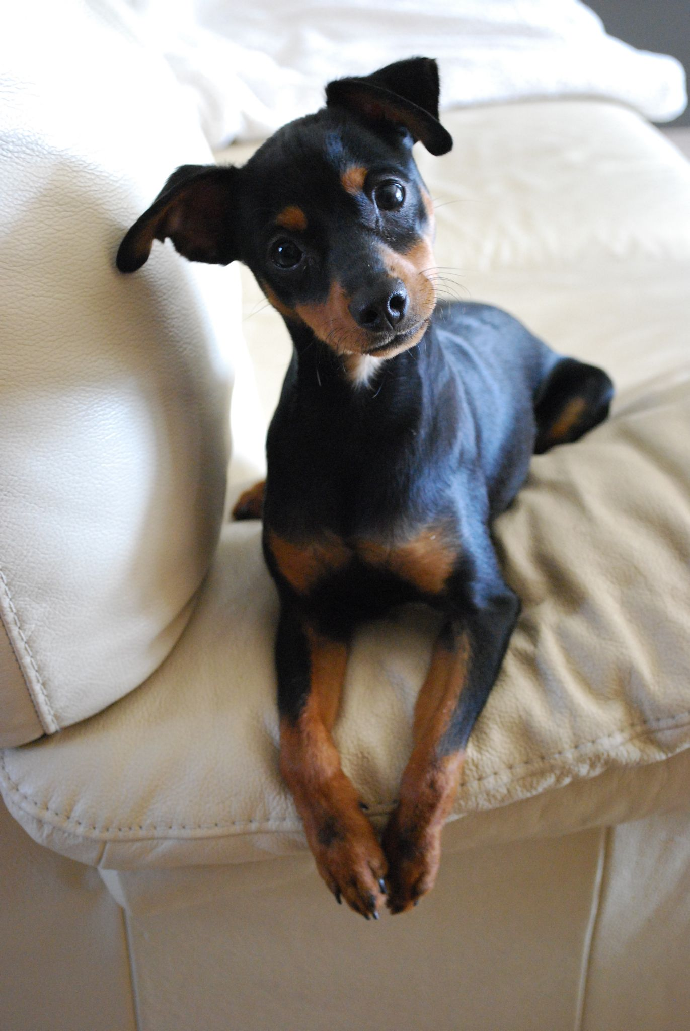 Pinsher Nain Dog Lovers Miniature Pinscher Beautiful Dogs