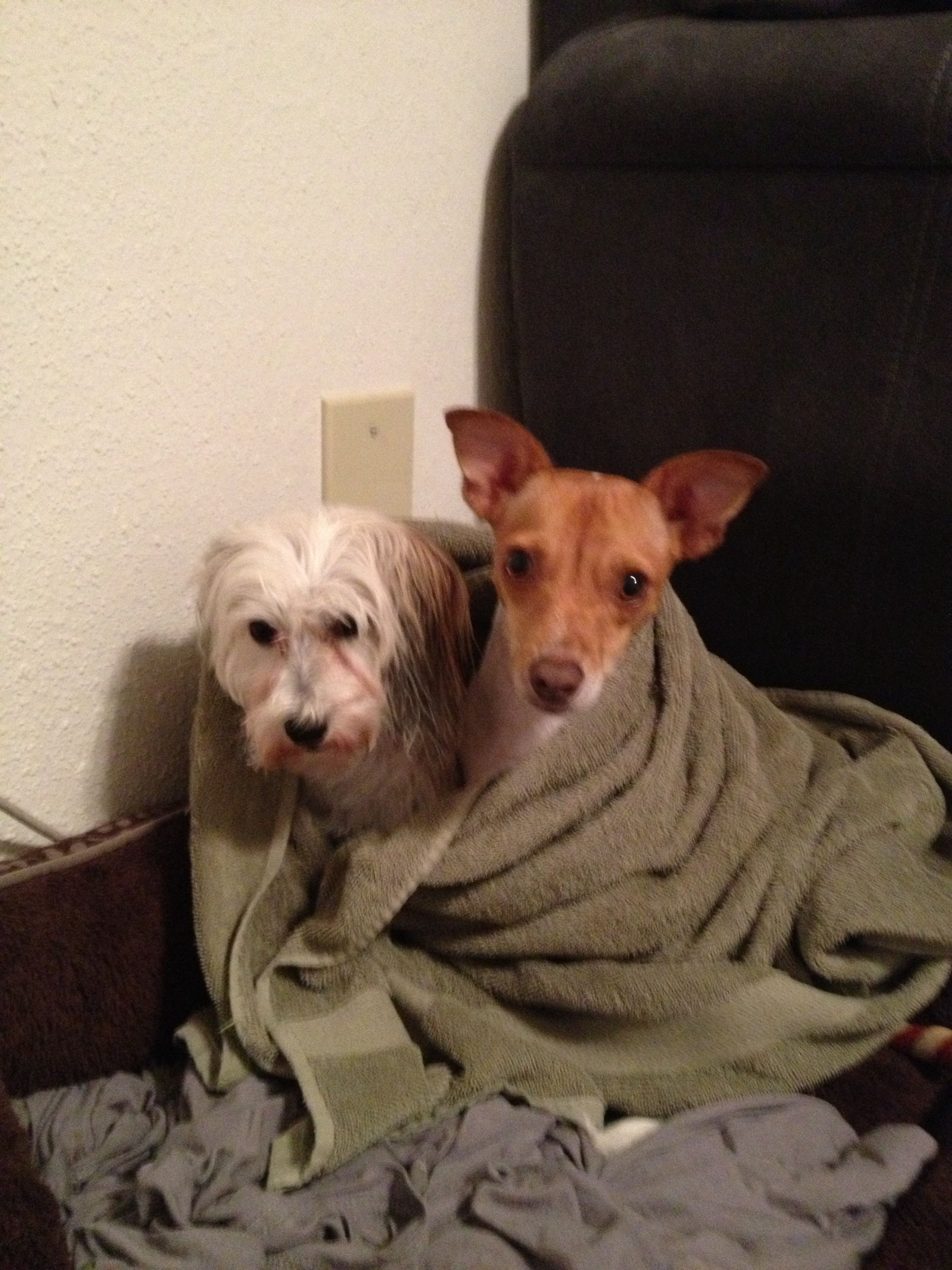 Belle the rat terrier and Chloe the Chinese crested powder puff after a bath