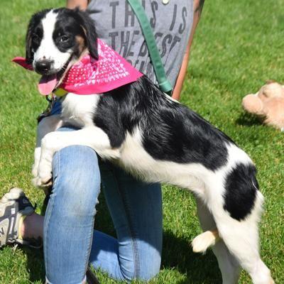 Adopt Ivy on Dogs, English springer spaniel, Springer