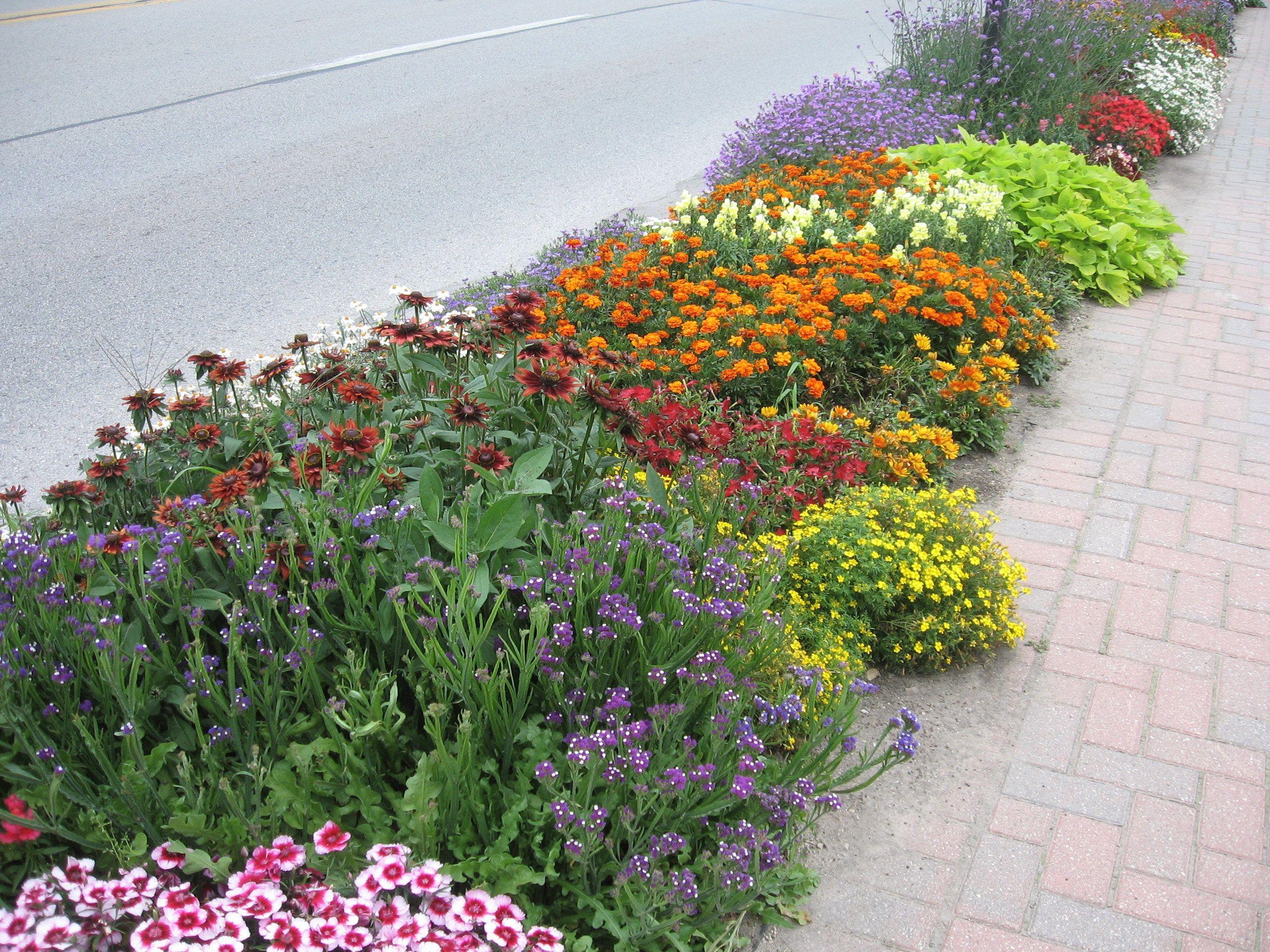 Curb Side Hellstrip Garden With Calendula Marigold Sweet Potato Vine Iris Dianthus Salvia And Sedum Sidewalk Landscaping Garden Vines Marigolds In Garden