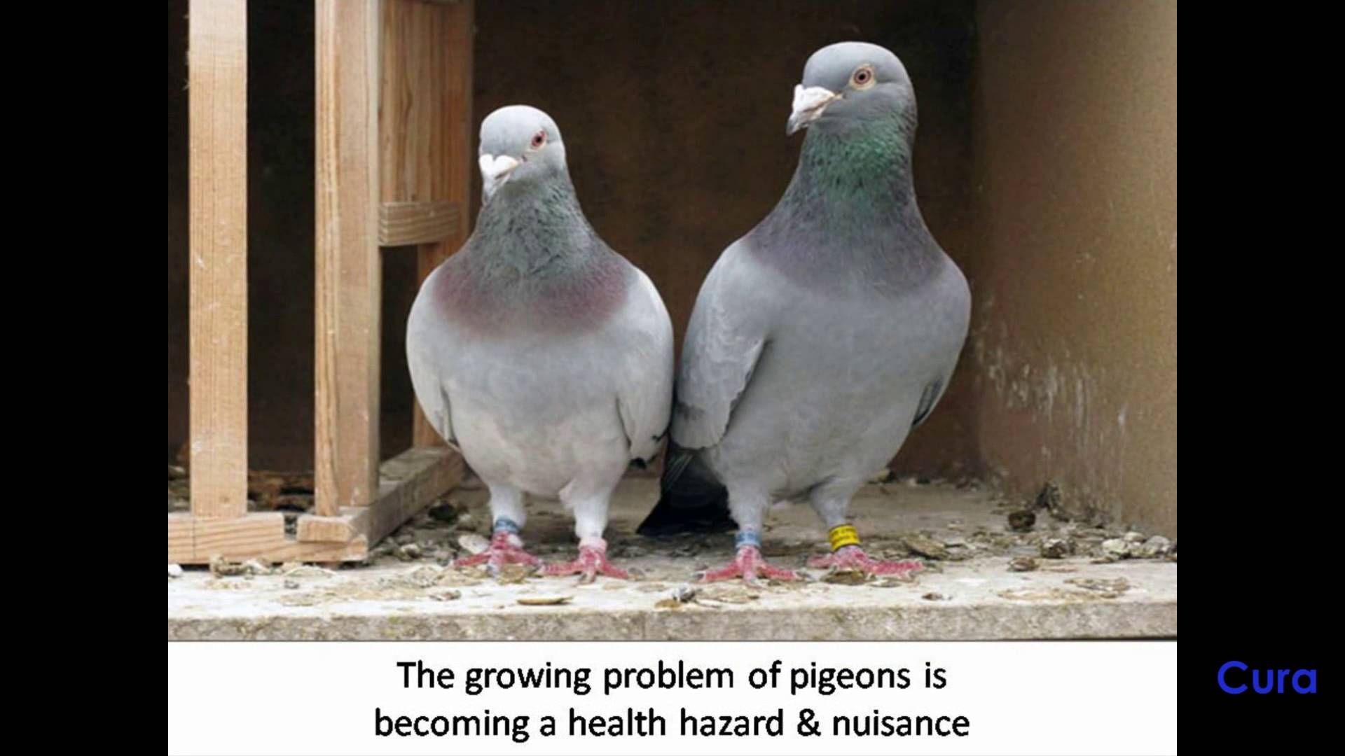 Highly Effective Ways to Get Rid of Pigeons Get rid of