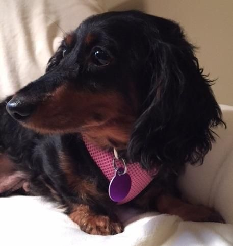 Jill is a very sweet, but a little shy, Dachshund.  She is 5 years old, and weighs 14 lbs.  Jill is a retired breeder dog, but she was not a puppy mill dog. She is great with the other dogs!  She is also house-trained and crate-trained! Jill just... Rescued 'n Ready Animal Foundation Tulsa, OK