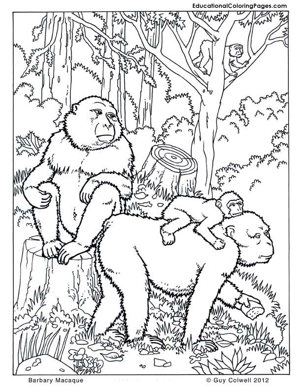barbary macaques monkey coloring pages