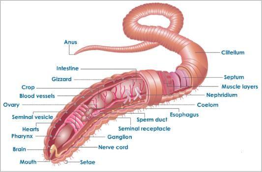 Anatomy Of The Earth Worm Homeschool Bio Pinterest Homework