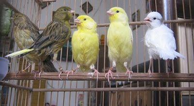 5 Cara Merawat Kenari Bakalan Agar Cepat Bunyi Umur Kurang 4 Bulan Burung Kenari Hewan