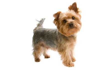 Small Hypoallergenic Dog Breeds | istock_000005270808xsmall.jpg - Yorkshire Terrier - Dog Breeds